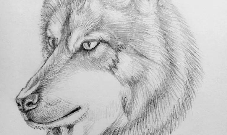 Как нарисовать волка карандашом? Поэтапный урок. Портреты карандашом - Fenlin.ru