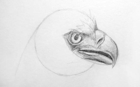 Как нарисовать орла карандашом? Шаг 10. Портреты карандашом - Fenlin.ru