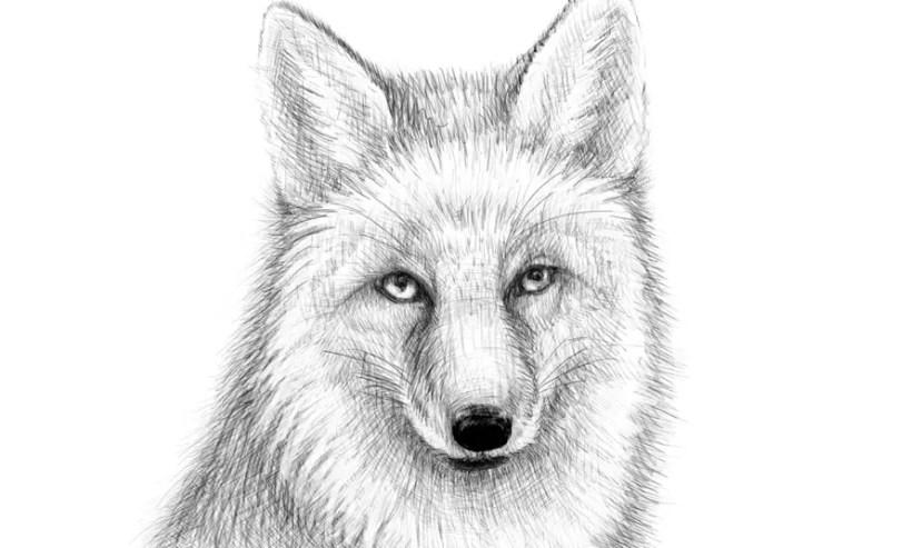 Как нарисовать лису на графическом планшете? Портреты карандашом - Fenlin.ru