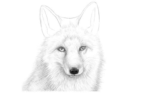 Как нарисовать лису на графическом планшете? Шаг 16. Портреты карандашом - Fenlin.ru