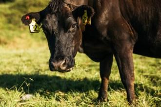 a cow staring at a camera