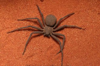 image of the deadly six-eyed sand spider