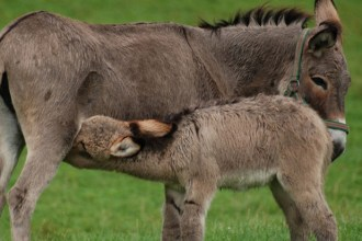 donkey milk.