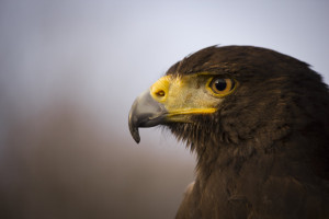 harris_hawk_face_closeup_by_reandeanna-d4ggbxi