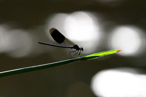 Backlit Male Banded Demoiselle on Reed