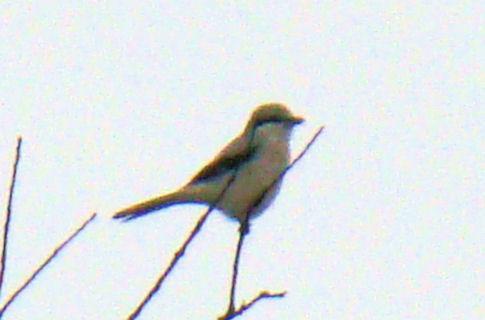 northern-shrike