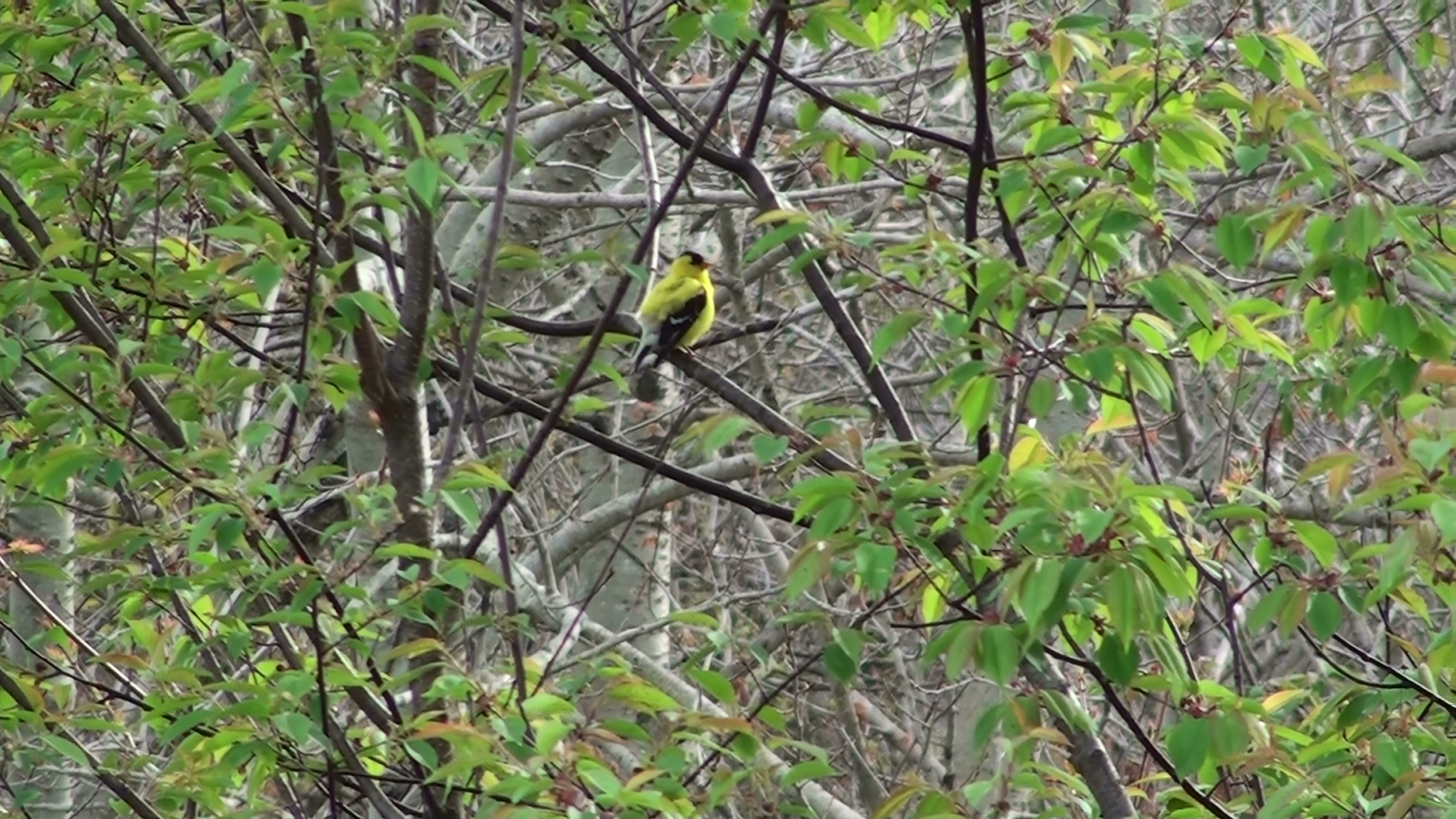 American Gold Finch(1)
