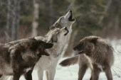 wolf-pack-howlingsmall