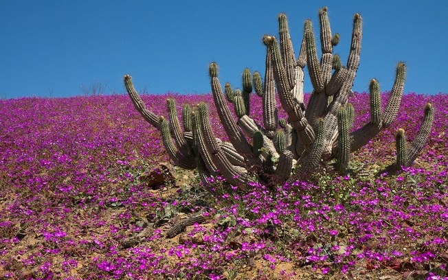 As flores do deserto de Atacama (1/4)