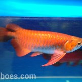 wpid-arwana-super-red-by-cbs-arowana-02.jpg.jpeg