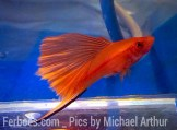 wpid-platy-sailfin-swordtail-01.jpg.jpeg