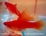 wpid-platy-sailfin-swordtail-06.jpg.jpeg