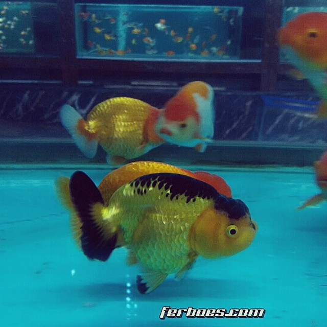 Ranchu orange black.jpg