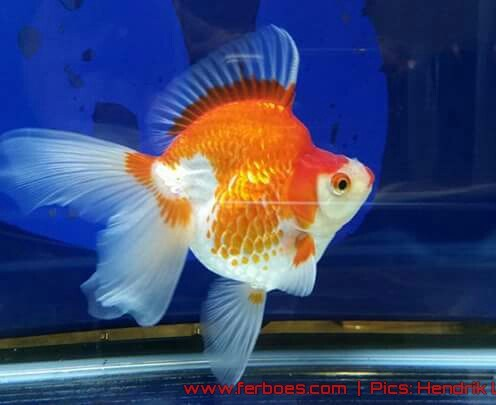 Goldfish aquarama 2015.jpg