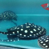 Stingray air tawar.jpg