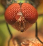 Lalat-2.jpg