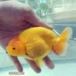 Ranchu yellow.jpg