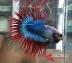Ikan-cupang_12.jpg