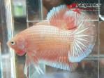 Ikan-cupang_3.jpg