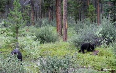 bears jasper national park 3