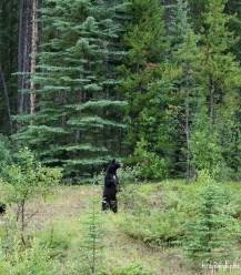 bears jasper national park 6
