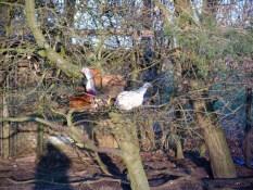 Legen Hühner auch in den Bäumen Eier?