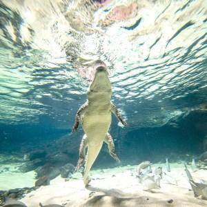 Aquatis-Aquarium-Vivarium-crocodile-du-desert-2-©nuno-acacio