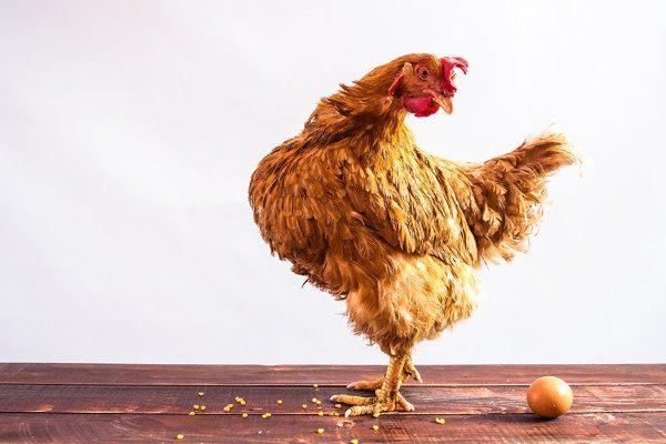 Csirke lebontott néhány tojást