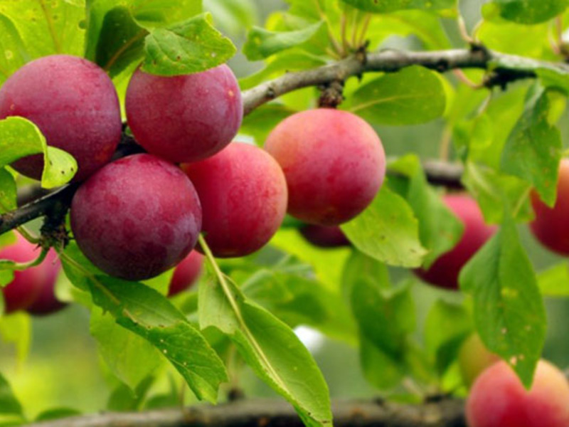 Плодово-ягодные деревья фото
