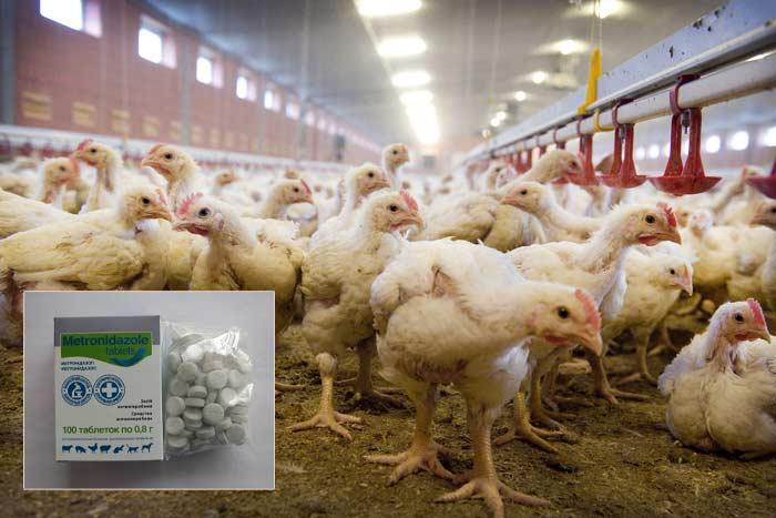 Жидкий метронидазол для цыплят инструкция по применению. Метронидазол цыплятам как разводить в воде