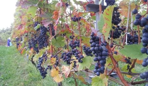収穫を待つドルンフェルダー(黒ぶどう)