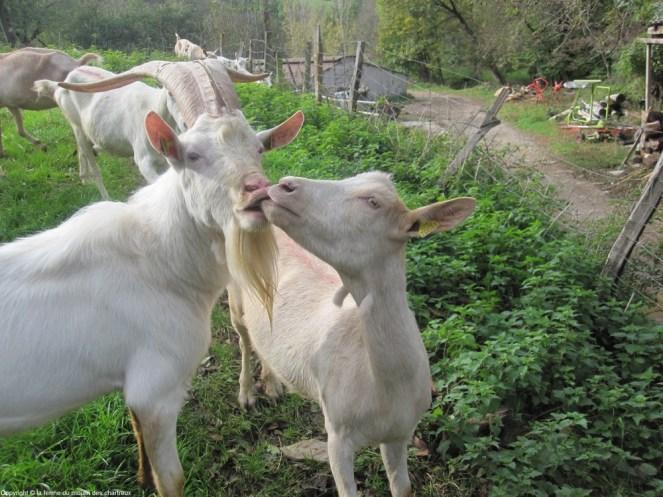 Une chèvre et un bouc qui se font un bisou