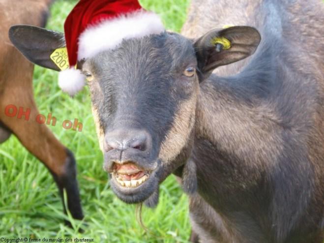 Une chèvre faisant une grimace avec un bonnet de père noël