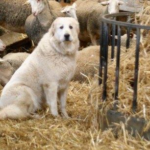 Gipsy, le patou, vit avec les moutons et les protège
