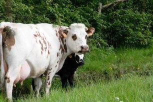 vache et son bebe veau