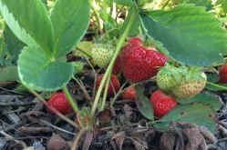Autocueillette des fraises - La Ferme Genest