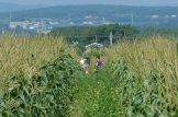 Autocueillette du maïs - La Ferme Genest