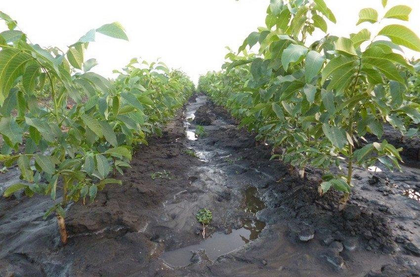 Irrigazione in noce
