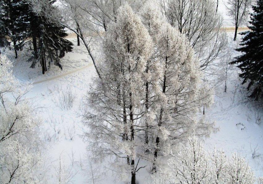 Larch ในฤดูหนาว