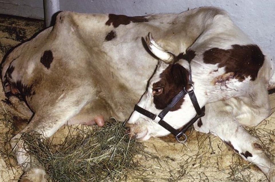 Пастереллез телят симптомы. Симптомы и лечение пастереллеза у крупного рогатого скота