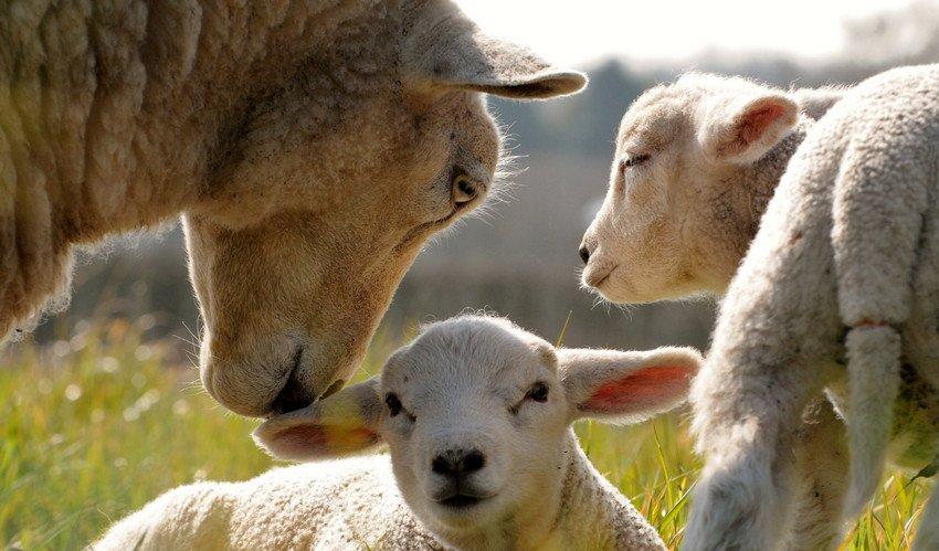 Lampaat karitsat