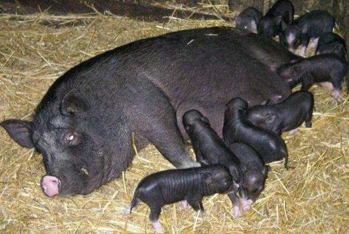 cum poate porcul meu de guinee să piardă în greutate)