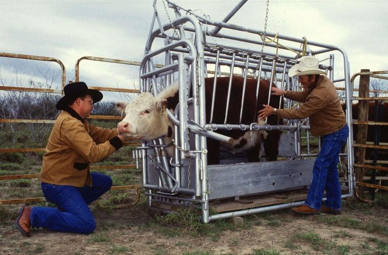 تقدير الحمل من سبل الانتصاف الشعبي البقر