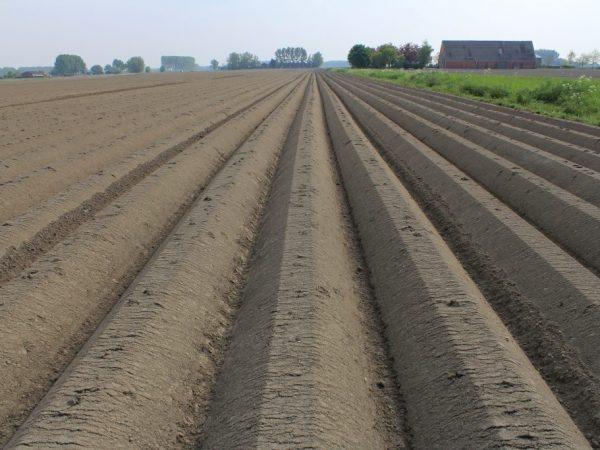 Обработка почвы под картофель на одном месте. Рекомендации огородникам: правильная обработка почвы под картофель
