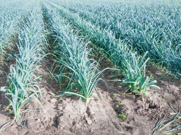Эффективные способы обработки чеснока до посадки. Подготовка чеснока к посадке весной, и выращивание чесночного урожая Подготовка чеснока к