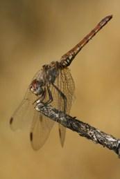Trithemis annulata ♀