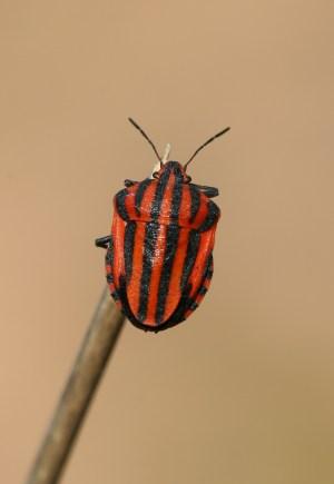Graphosoma lineatum.