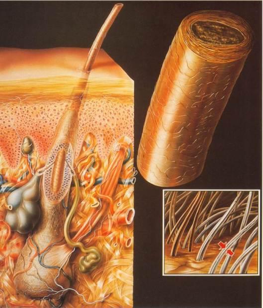 """""""La piel y el cabello"""", ilustración de Verlag Wort y Bild Rolf Becker."""