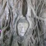 Der brühmte Buddhakopf im Wat Phra Mahathat