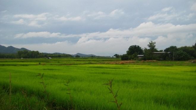 Reisfelder in der Nähe des Sukhothai Historical Parks